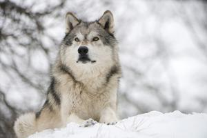 North American Timber Wolf (Canis Lupus) in Forest by Louise Murray