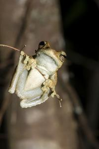 Northern Laughing Tree Frog (Roth's Tree Frog) (Litoria Rothii) by Louise Murray