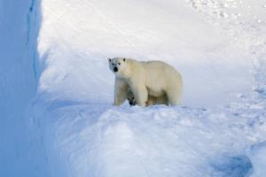 Polar Bear Mother And Cub by Louise Murray