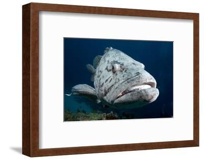 Potato Cod (Epinephelus Tuku) (Potato Grouper) (Potato Bass)