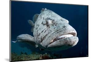 Potato Cod (Epinephelus Tuku) (Potato Grouper) (Potato Bass) by Louise Murray