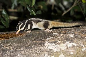 Rarely Seen Striped Possum (Dactylopsila Trivirgata) on Tree in Wet Tropic Rainforest, Queensland by Louise Murray