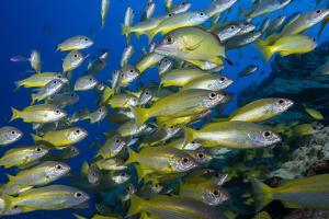 Schooling Yellow-Striped Goatfish (Mulloidichthys Vanicolensis). Great Barrier Reef by Louise Murray