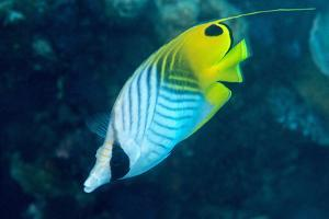 Thread Fin Butterflyfish (Chaetodon Auriga), Usually Seen in Pairs, Queensland, Australia, Pacific by Louise Murray