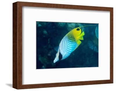 Thread Fin Butterflyfish (Chaetodon Auriga), Usually Seen in Pairs, Queensland, Australia, Pacific