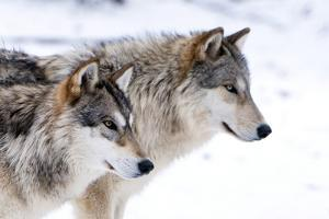 Two Sub Adult North American Timber Wolves (Canis Lupus) in Snow, Austria, Europe by Louise Murray