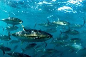 Yellowfin Tuna by Louise Murray