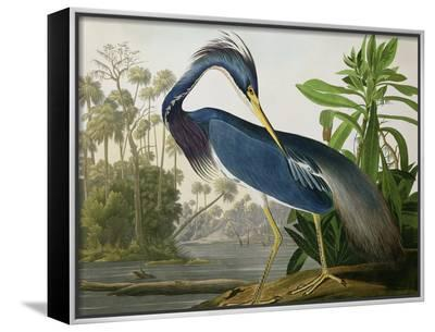 "Louisiana Heron from ""Birds of America""-John James Audubon-Framed Canvas Print"