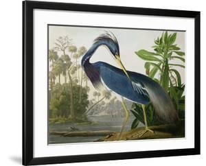 Louisiana Heron from Birds of America