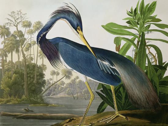 "Louisiana Heron from ""Birds of America""-John James Audubon-Premium Giclee Print"