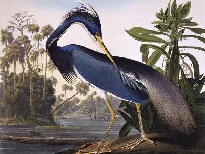 Louisiana Heron-John James Audubon-Premium Giclee Print