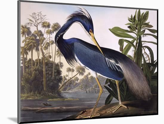 Louisiana Heron-John James Audubon-Mounted Premium Giclee Print