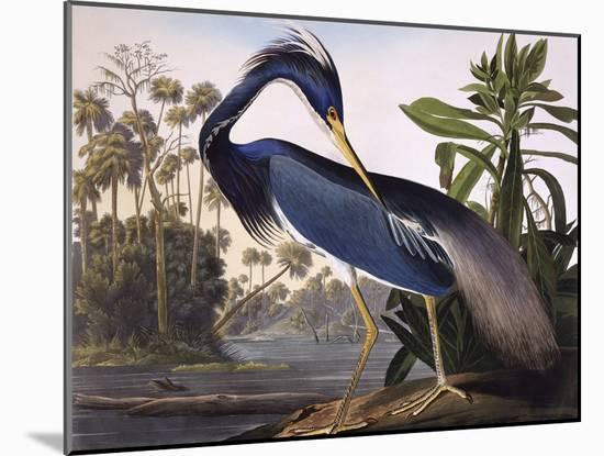 Louisiana Heron-John James Audubon-Mounted Giclee Print