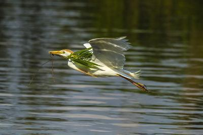 Louisiana, Jefferson Island. Cattle Egret Flying with Branch for Nest-Jaynes Gallery-Photographic Print