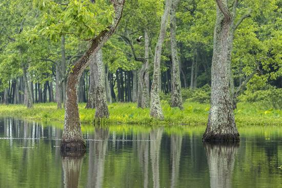 Louisiana, Miller's Lake. Tupelo Trees Reflect in Water-Jaynes Gallery-Photographic Print