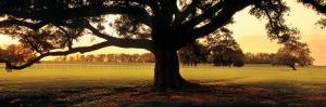 Louisiana, Oak Tree at Sunset