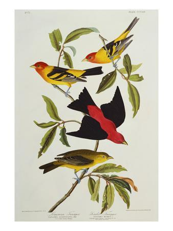 https://imgc.artprintimages.com/img/print/louisiana-scarlet-tanager-tanagra-ludoviciana-rubra-plate-cccliv-from-the-birds-of-america_u-l-pemmm20.jpg?p=0