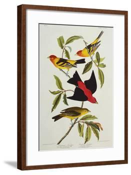 Louisiana & Scarlet Tanager (Tanagra Ludoviciana & Rubra), Plate CCCLIV, from'The Birds of America'-John James Audubon-Framed Giclee Print
