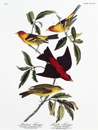 https://imgc.artprintimages.com/img/print/louisiana-tanager-and-scarlet-tanager_u-l-oaglr0.jpg?artPerspective=n