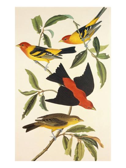 Louisiana Tanager, Scarlet Tanager-John James Audubon-Art Print