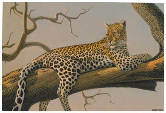 Lounging Leopard-Clive Kay-Art Print