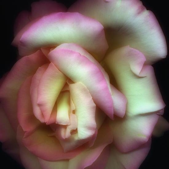 Love is a Rose-Nathan Griffith-Photographic Print