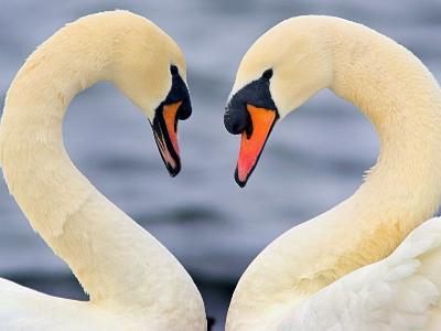 Love Swans-Darren Stone-Photographic Print