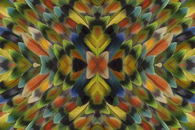 Lovebird Tail Feathers in Multicolored Display-Darrell Gulin-Photographic Print
