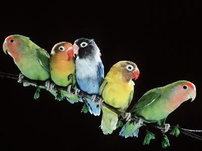 Lovebirds X Five on Branch--Photographic Print