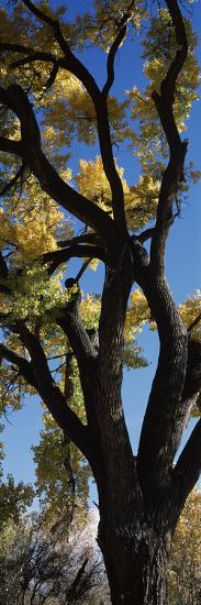Low angle view of a cottonwood tree, New Mexico, USA--Photographic Print