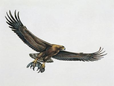 Low Angle View of a Golden Eagle Gripping a Rat (Aquila Chrysaetos)--Giclee Print
