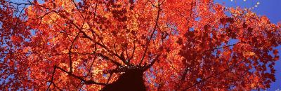 Low Angle View of a Maple Tree, Acadia National Park, Mount Desert Island, Maine, USA--Photographic Print