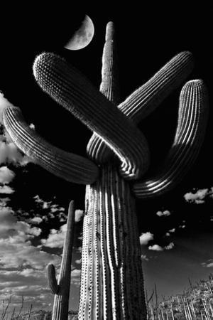 Low Angle View of a Saguaro Cactus (Carnegiea Gigantea), Tucson, Pima County, Arizona, USA