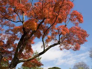 Low Angle View of Autumnal Trees at Katsura Imperial Garden, Kyoti Prefecture, Japan