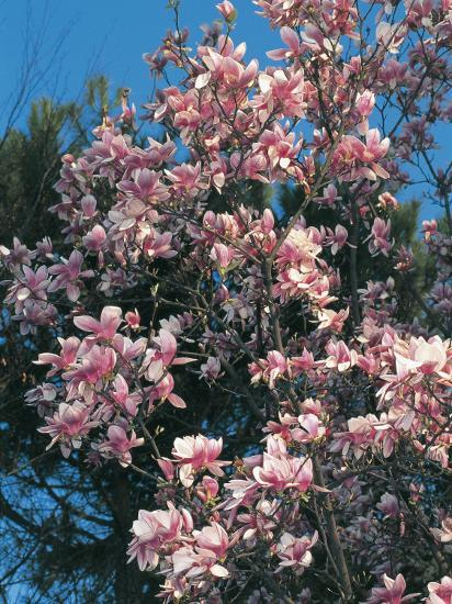 Low Angle View of Branches of a Saucer Magnolia Tree in Blossom (Magnolia Soulangiana)-S^ Montanari-Photographic Print