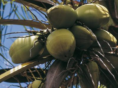 Low Angle View of Coconut Palm Trees (Cocos Nucifera)--Photographic Print