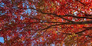 Low angle view of maple tree, Mount Desert Island, Acadia National Park, Hancock County, Maine, USA