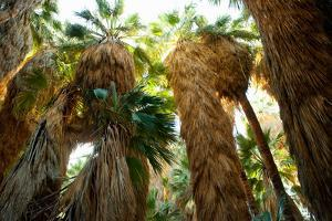 Low Angle View of Palm Trees, Palm Springs, Riverside County, California, USA
