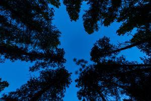 Low angle view of Ponderosa pine and Douglas Fir trees, Wasa, East Kootenay, British Columbia, C...