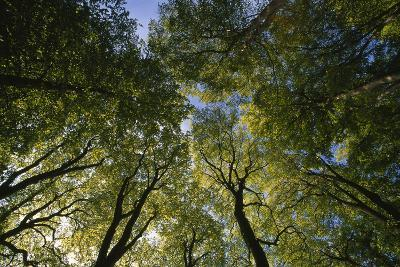 Low Angle View of Trees in Jasmund National Park-Norbert Rosing-Photographic Print