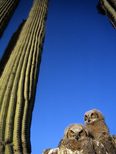 Low Angle View of Two Brown Owls Sitting Next to Green Cactus Plants, Brilliant Blue Sky Overhead--Photographic Print