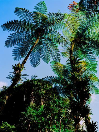 Low angle view of West Indian treefern (Cyathea arborea), Papillote Wilderness Retreat, Dominica--Photographic Print