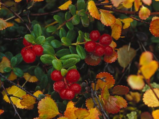 Lowbush Cranberries in the Yukon, Canada-Nick Norman-Photographic Print