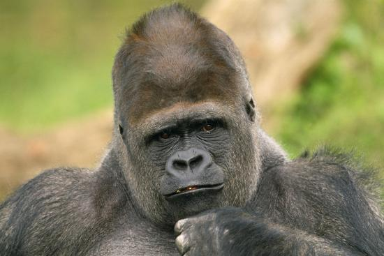 Lowland Gorilla Close-Up of Head--Photographic Print
