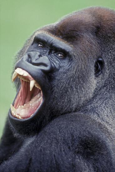 Lowland Gorilla Male with Mouth Open--Photographic Print