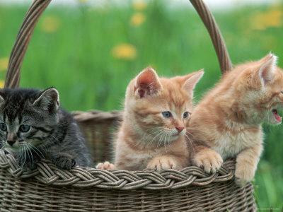 Domestic Kittens in Basket
