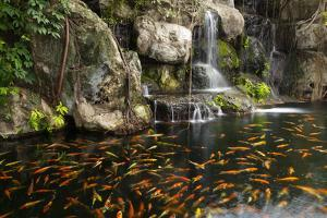 Koi Fish in Pond at the Garden with A Waterfall by luckypic