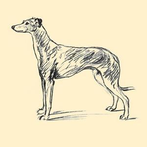Radicome The Greyhound by Lucy Dawson