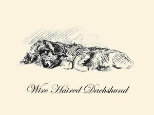 Wire Haired Daschund by Lucy Dawson