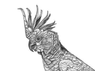 Cockatoo Portrait